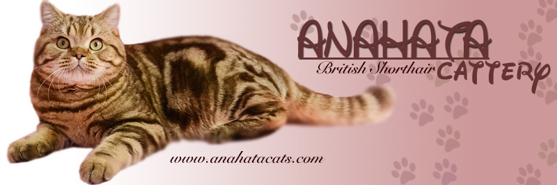 Anahata - British Shorthair Cattery and British Shorthair Kittens