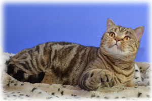 Anahata - British Shorthair Cattery